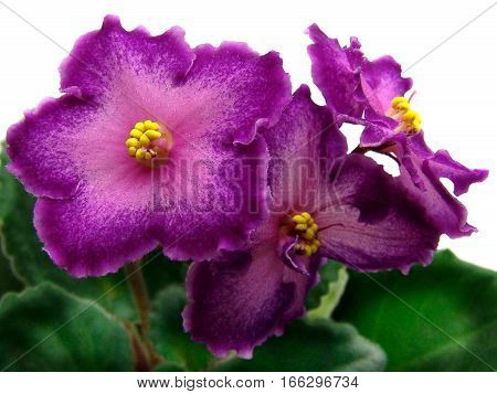 Flowering collectible African violets