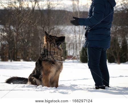 The owner talks to the dog. Shepherd listens carefully. Winter snow training