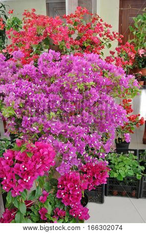 Huge bougainvillea flowering plants, red, purple and crimson color, grown in greenhouses, put up for sale at flower exhibition. Open event