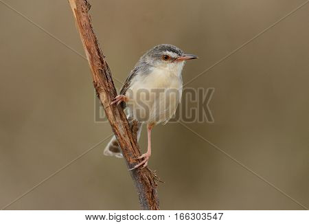 beautiful plain prina (Prina inornata) possing on log in forest of Thailand
