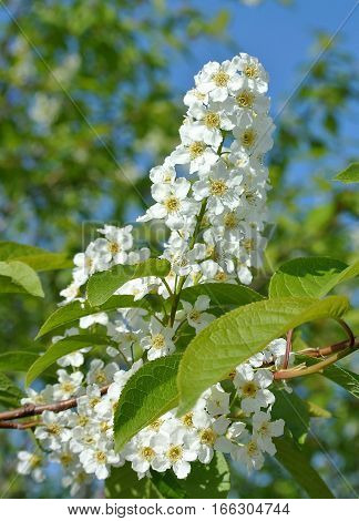 Flowering inflorescence of bird cherry on background of bright blue spring sky. Closeup. Background is blurred
