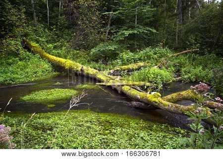 Summer forest landscape with the small river and tree through a stream