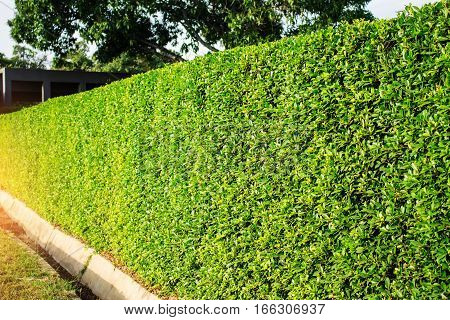 Ornamental of a hedges in the park.