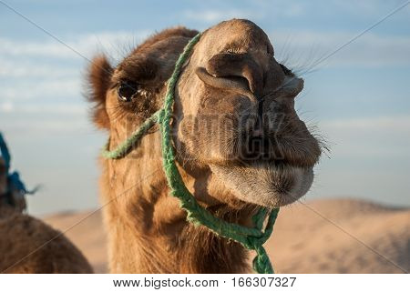The head of a camel in the desert against the blue sky and the sand dunes