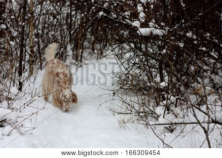 English setter - white big dog of hunting breed walking in winter wonderland forest on white snow background