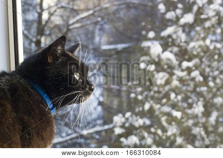 Portrait of black cat with white whiskers and eyebrows looking with interest in window on blurred winter background with Christmas tree