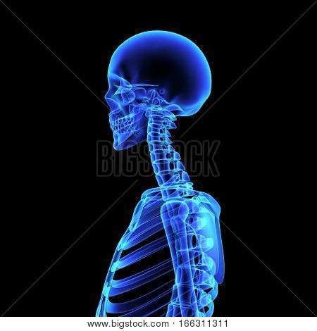 The human skeleton is the internal framework of the body.