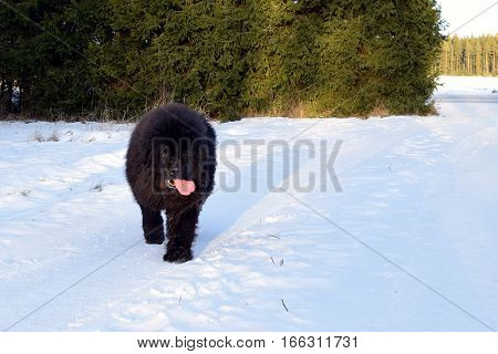 Newfoundland dog walking on snowy winter yard.