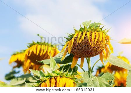 Sunflowers droop with a daytime at sky.
