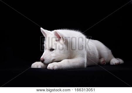 Cute little puppy of syberian husky on black
