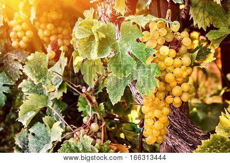 Bunch of organic white grape on vine branch. Wine making concept