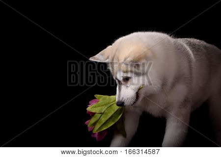 Siberian Husky puppy with flower on black background
