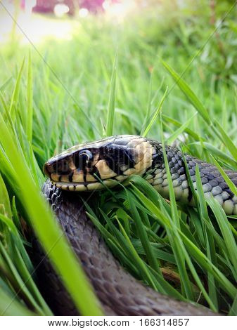 Reptile grass snake head close up photo