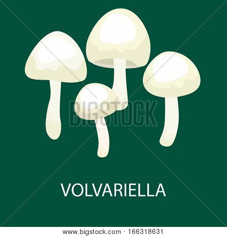 Volvariella volvacea, Straw Mushroom, Wild Foraged Mushroom, Vector isolated edible natural mushrooms in nature set, organic vegetable food collection.