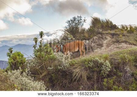 Mule At Highland Road Quilotoa, Ecuador