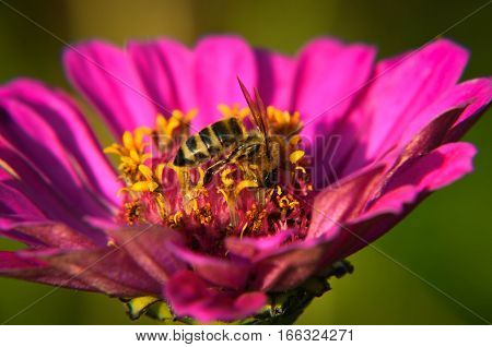 Macro Of A Bee Collecting Pollen On  Decorative Garden Flower