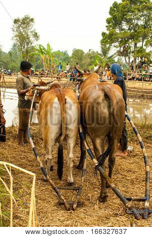 Batusangkar, Indonesia, August 29, 2015: Two cows getting in line for traditional bull race Pacu Jawi in West Sumatra, Indonesia on August, 2015