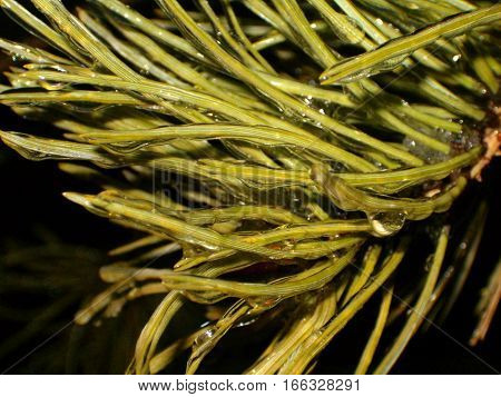 Photo of a batch of ice covered pine needles