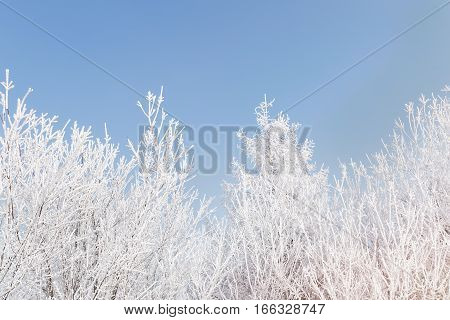 Frost covered tree branches against blue sky in sunny day with copyspace