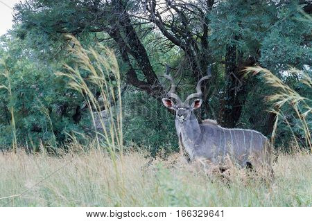 Greater kudu standing on the look out for predators nearby