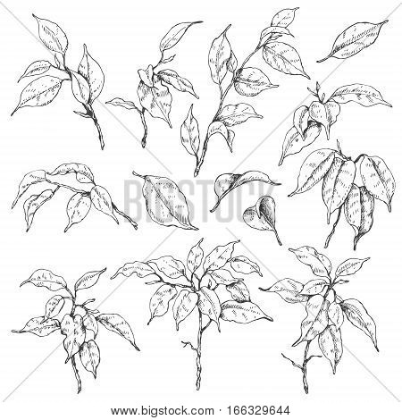 Hand drawn sketch of tropical plants. Doodle ficus branches and leaves set. Black and white floral elements for coloring.