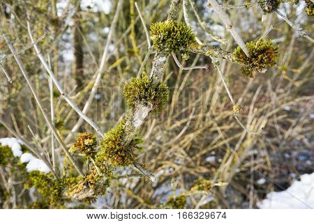Moss on Branches in Winter. Moss in Winter