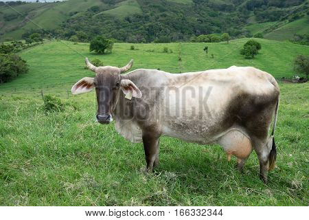 dairy cow outdoors in Costa Rica pasture