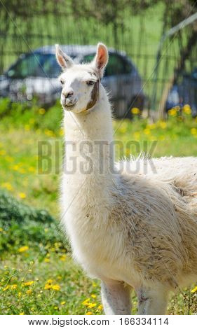 A Llama lama in the zoo outdoors