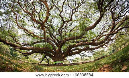 Bodhi tree, Ficus religiosa L., Big tree, Old tree conceptual of life Buddhism