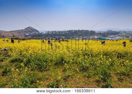 JEJU ISLAND KOREA: MARCH 282016: People in canola field at Jeju-do, Jeju, South Korea