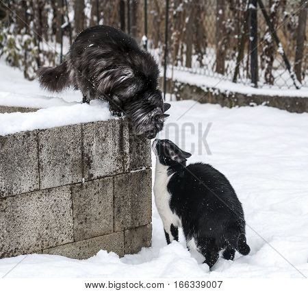 Cats are sniffing each other and playing on a snow.