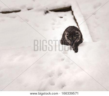Cat is walking outside on a snow.