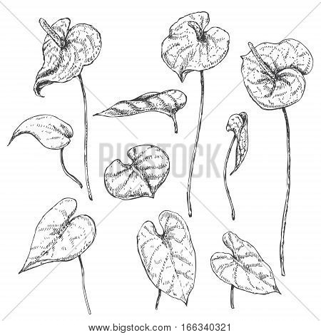 Hand drawn branches and leaves of tropical plants. Anthurium flowers sketch.