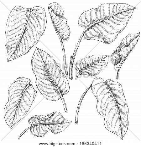 Hand drawn branches and leaves of tropical plants. Dieffenbachia fronds sketch.
