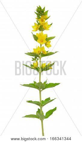 Lysimachia vulgaris flower isolated on white background