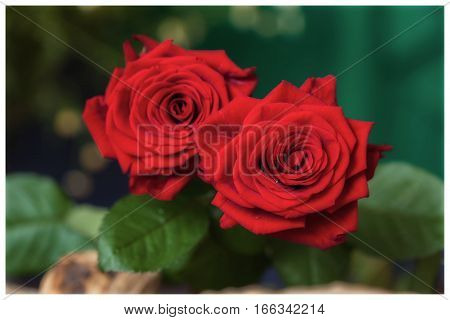 Two red roses. Bouquet of red roses on a black background. Top view