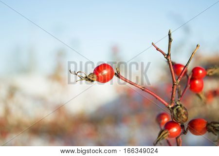 Rosehips, Red Rose Hip On A Branch Winter
