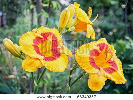 Yellow Daylily (hemerocallis) In The Garden