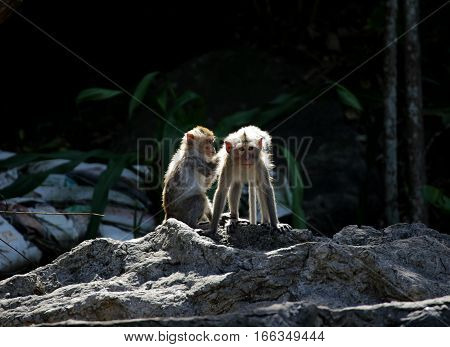 Two Young Monkey Finding and Picking Lice