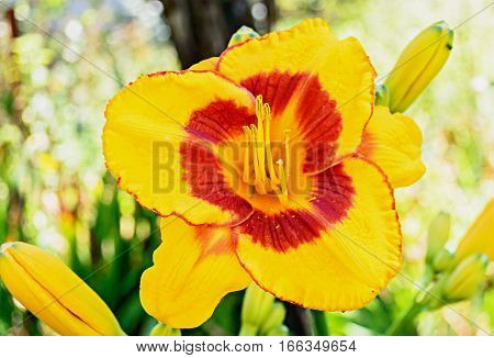 Yellow Daylily (hemerocallis) Closeup