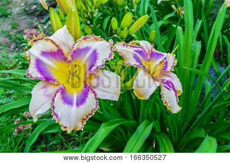 Multicolored daylilies (hemerocallis) closeup in the garden