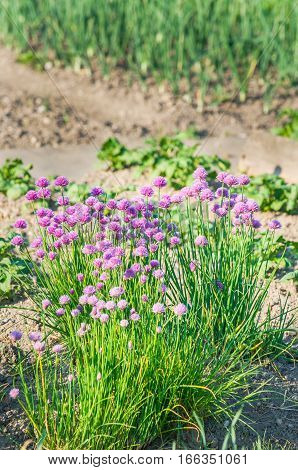 Purple blossoming chives on a sunny vegetable garden bed