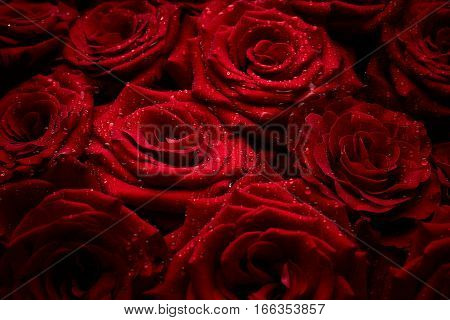 Beautiful red roses with drops of water