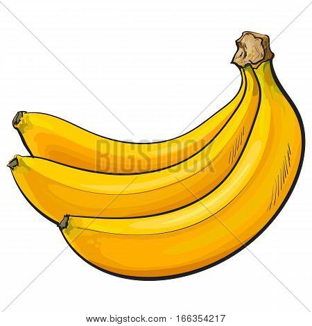 Bunch of three unopened, unpeeled ripe bananas, sketch style vector illustration isolated on white background. Realistic hand drawing of unopened ripe banana bunch