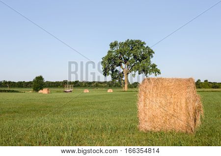 Golden hay bales in a green field. Focus on foreground bale with large tree and a hay wagon in the background. Copy space in sky if needed.