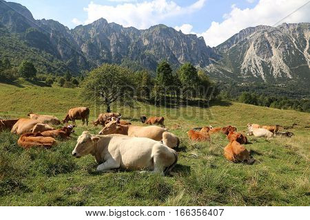 Cows Grazing  Near The Italian Alps In Summer