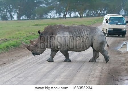 White rhino crossing the road in Lake Nakuru National Park, Kenya