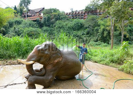 CHIANG RAI THAILAND - JANUARY 8 2017: A Mahout washing his elephant at the Anantara Golden Triangle Elephant Camp a charity designed to help elephants and their handlers.