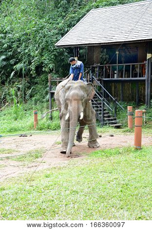 CHIANG RAI THAILAND - JANUARY 8 2017: A Mahout and atop his elephant. At the Anantara Golden Triangle Elephant Camp a charity designed to help elephants and their handlers.