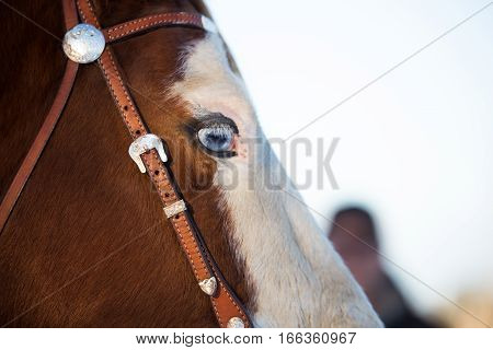 Side profile close-up of a horse head with blue eyes wearing a leather halter with buckle